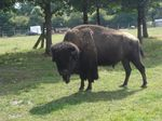 A la d�couverte du bison d'Am�rique