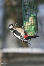 Observation oiseaux de la mangeoire